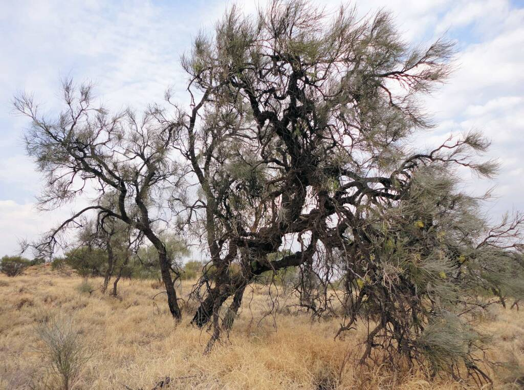 Long-leaved Corkwood (Hakea lorea), Alice Springs, NT