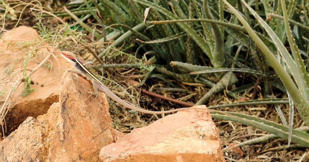 Long-nosed Dragon (Gowidon longirostris), Alice Springs, NT