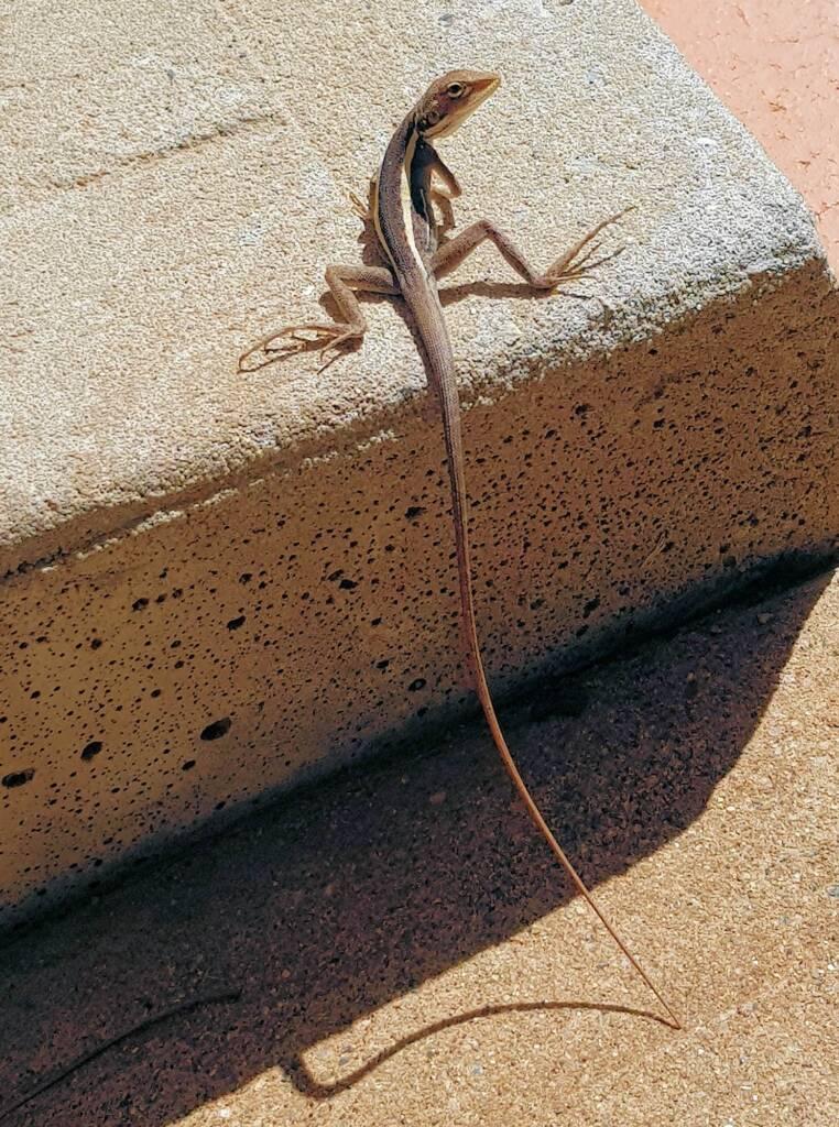 Long-nose Dragon (G. longirostris)