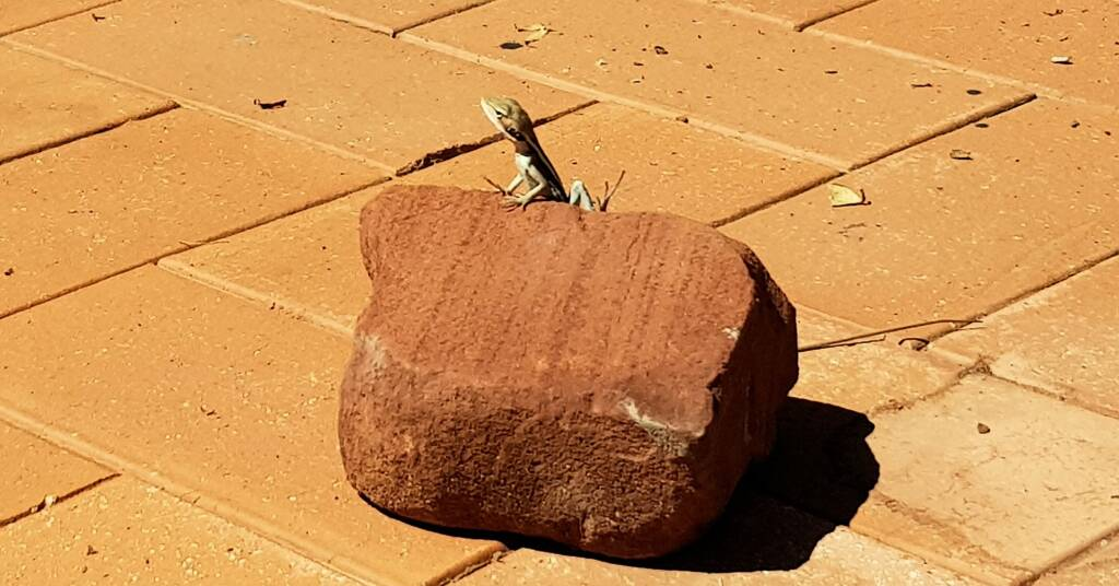 Long-nosed Dragon in Alice Springs backyard