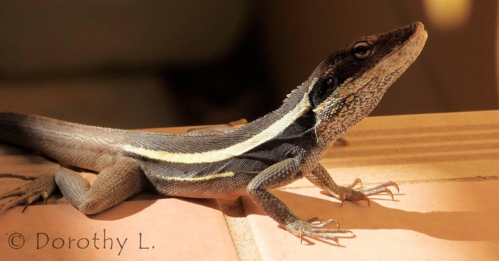 Long-nosed Dragon in Alice Springs backyard