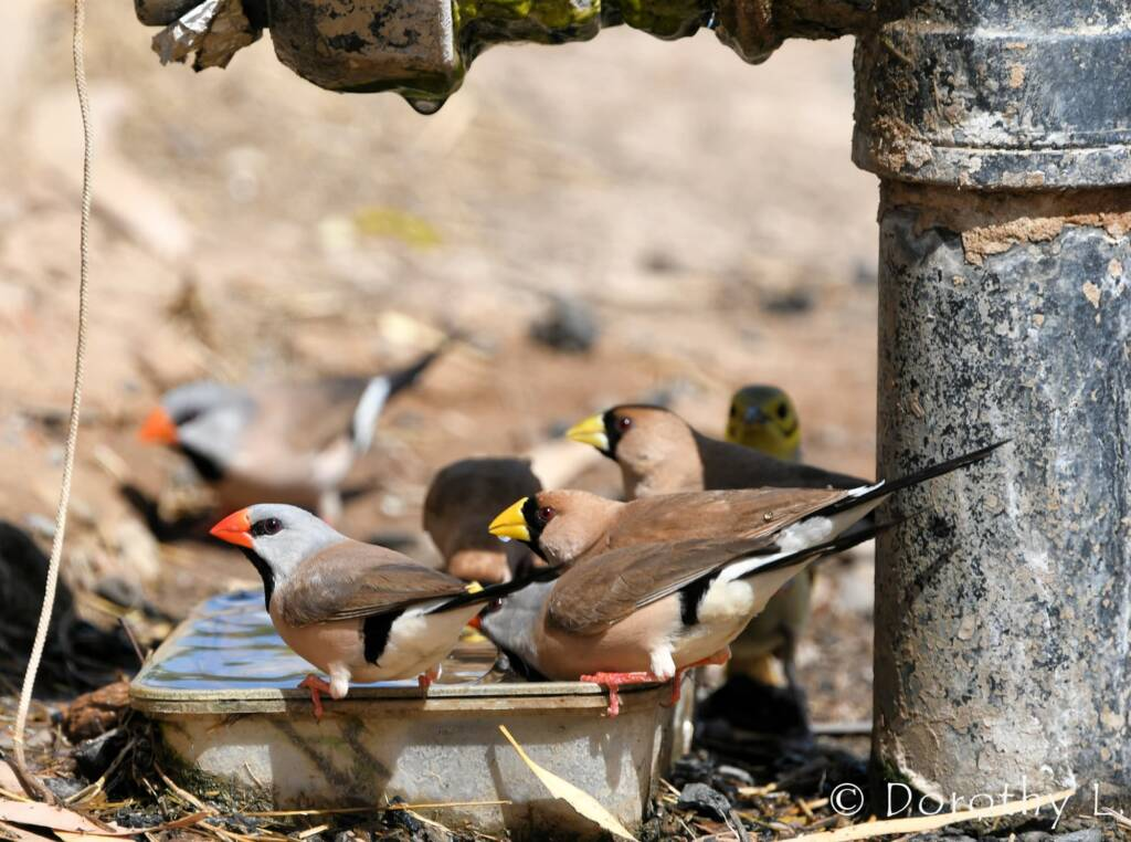 Long-tailed Finch and Masked Finch
