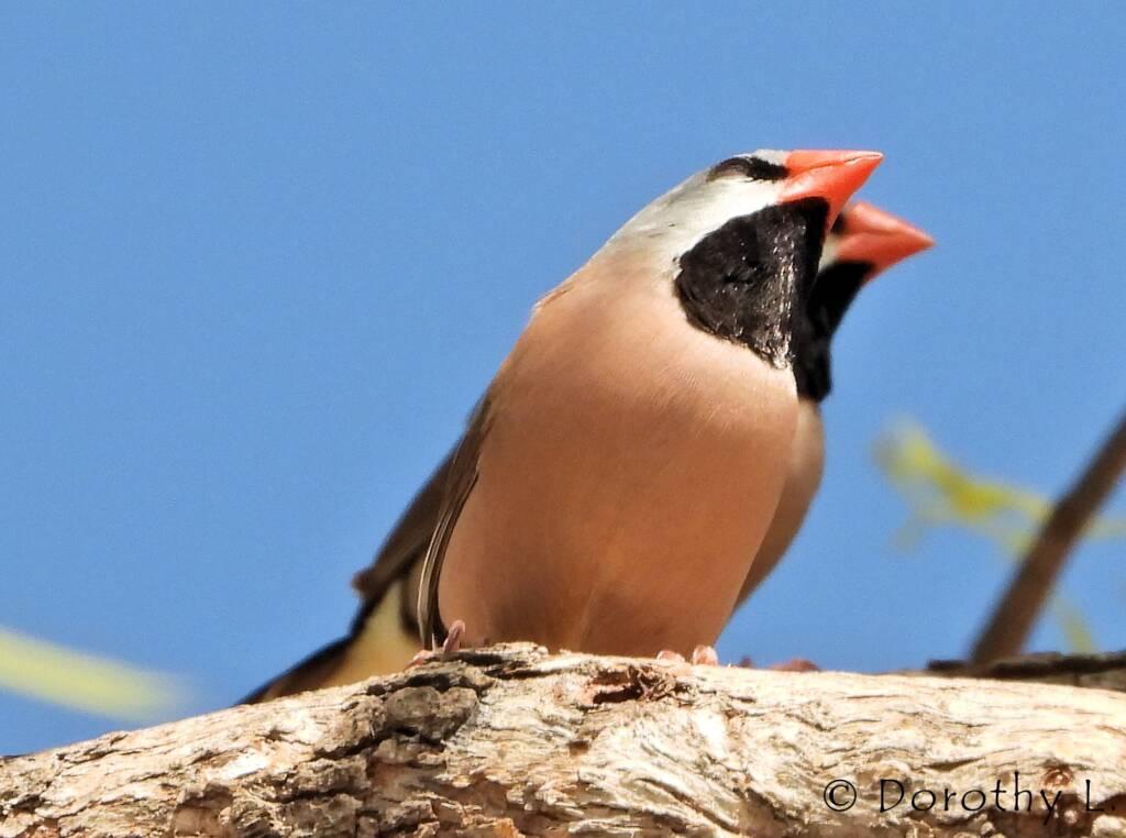 Long-tailed Finch (Poephila acuticauda hecki)