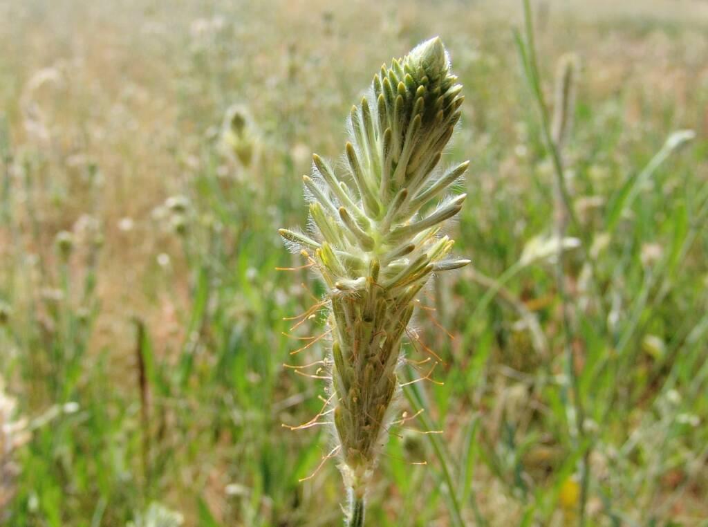 Longtails (Ptilotus polystachyus)
