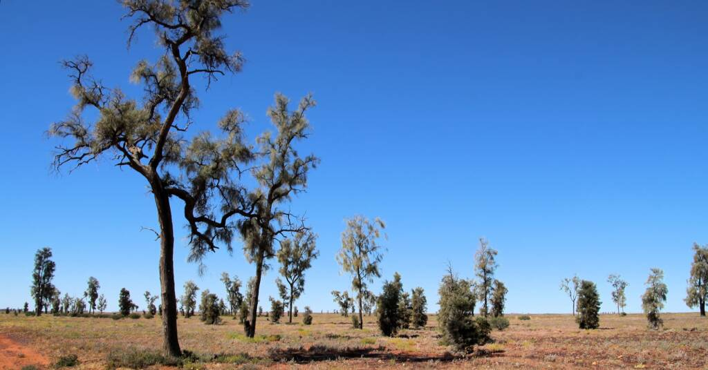 Waddy-wood (Acacia peuce), Mac Clarke Conservation Reserve, NT