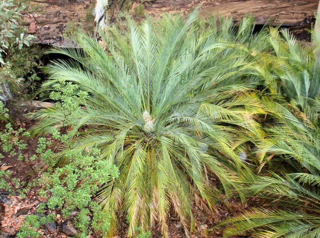 Macdonnell Ranges Cycad (Macrozamia macdonnellii), Kings Canyon