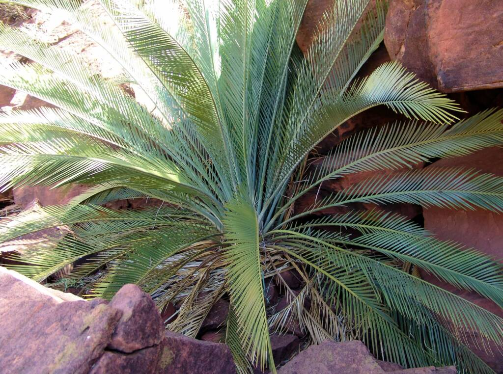 Macdonnell Ranges Cycad (Macrozamia macdonnellii), Palm Valley