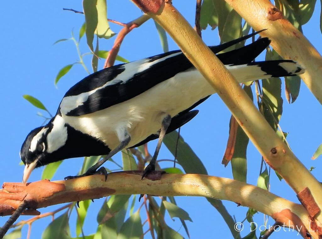 Magpie-lark (Grallina cyanoleuca)