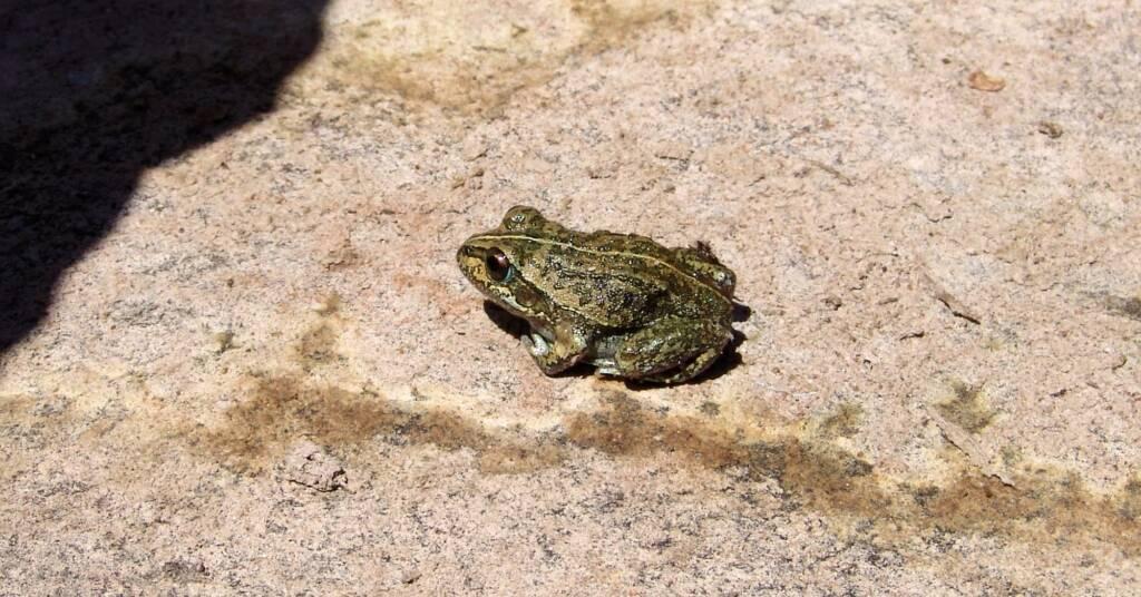 Main's Frog (Cyclorana maini), Palm Valley, NT