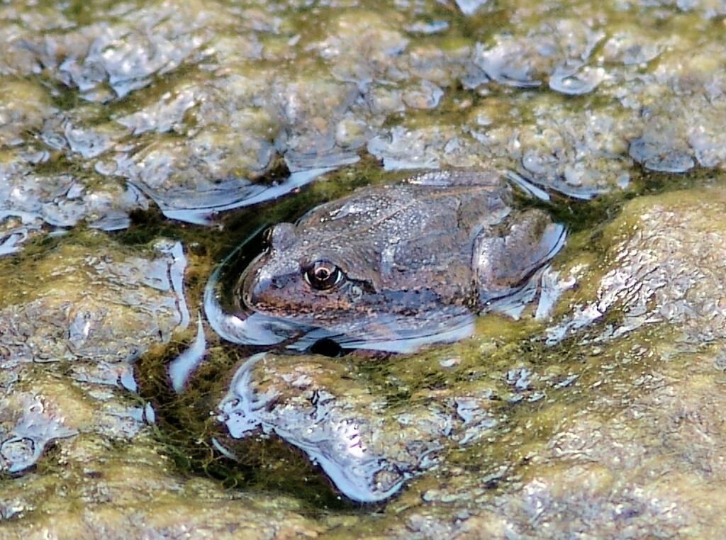 Main's Frog (Cyclorana maini), Simpsons Gap