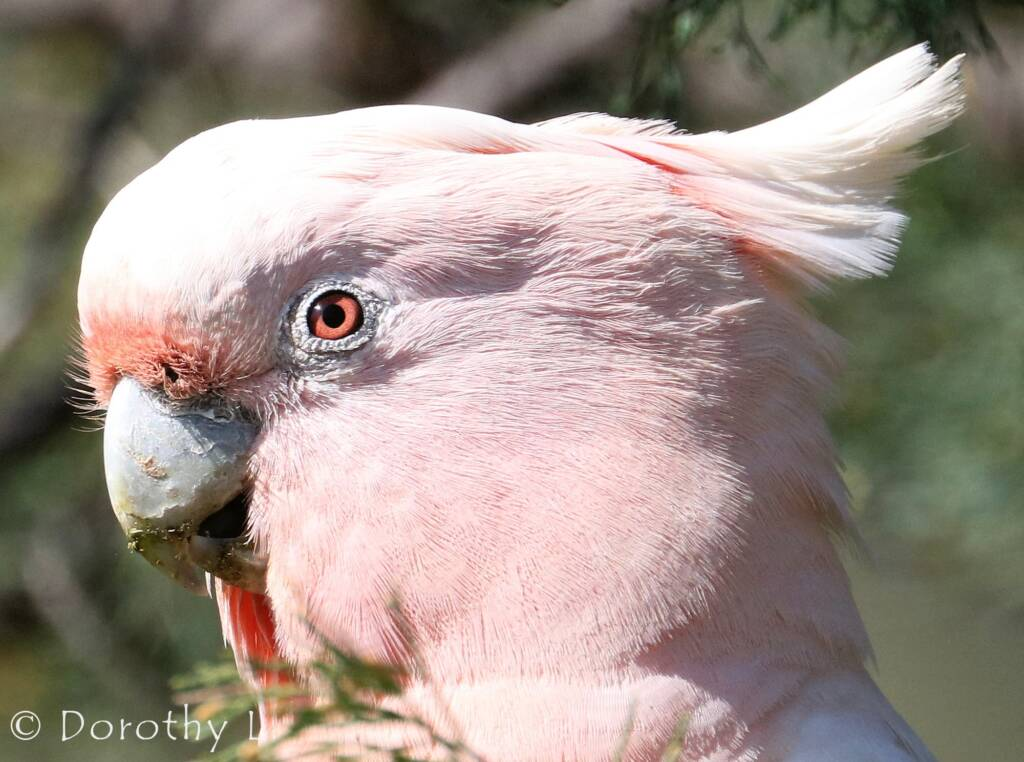 Major Mitchell's cockatoo (Lophochroa leadbeateri)