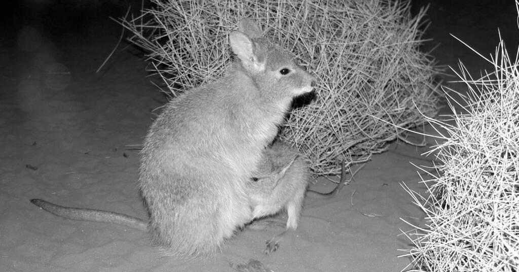 Mala (Lagorchestes hirsutus), Nocturnal House, Alice Springs Desert Park