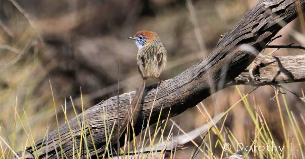 Mallee Emu-wren © Dorothy L