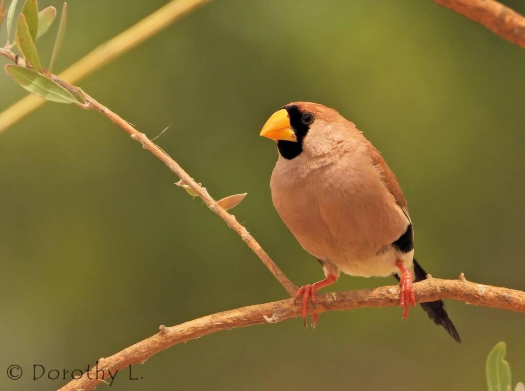 Masked Finch (Poephila personata)