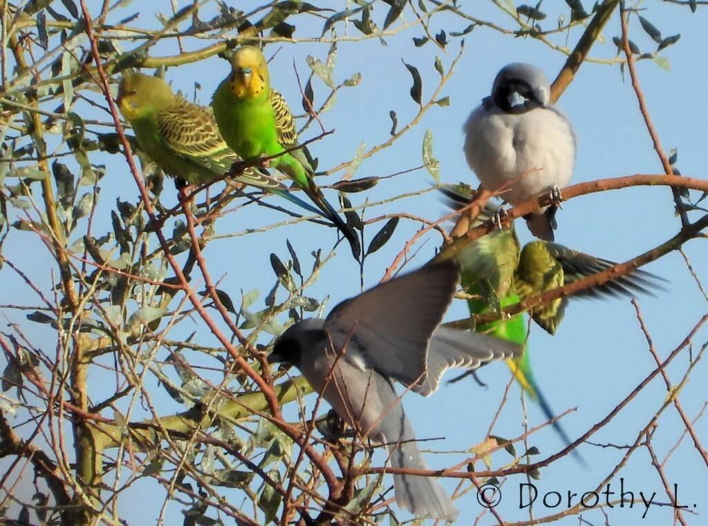 Masked Woodswallow and Budgerigars, Santa Teresa, NT