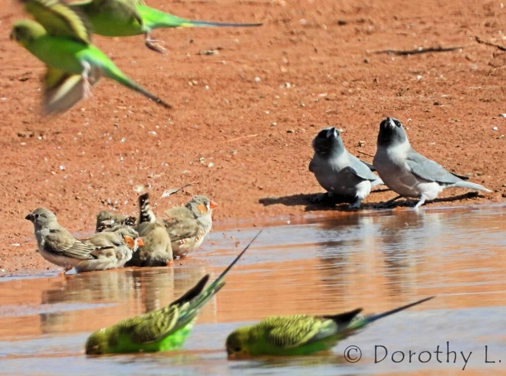 Masked Woodswallows, Zebra Finches and Budgerigars, Santa Teresa, NT