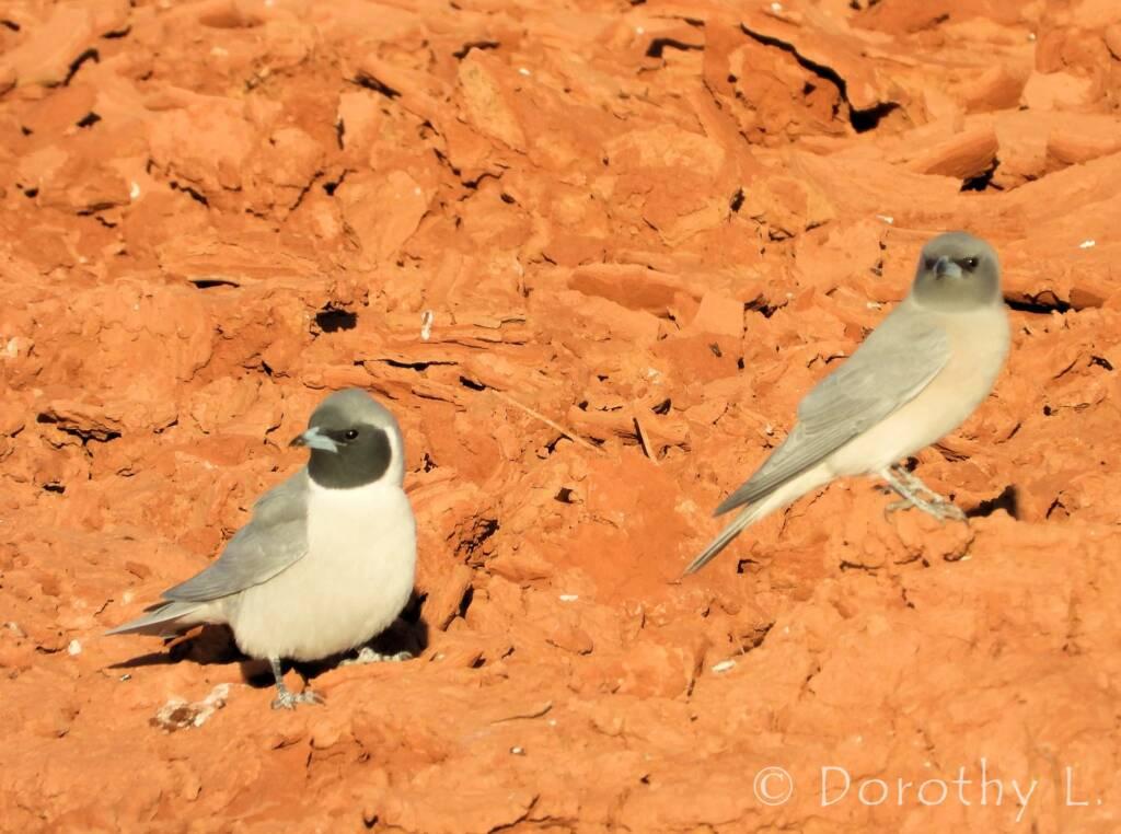 Masked Woodswallow (Artamus personatus)