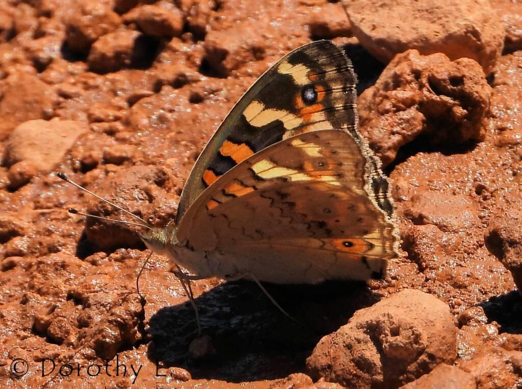 Meadow Argus Butterfly (Junonia villida)