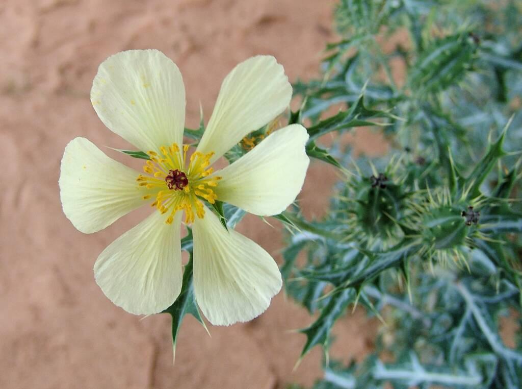 Mexican Poppy (Argemone ochroleuca)