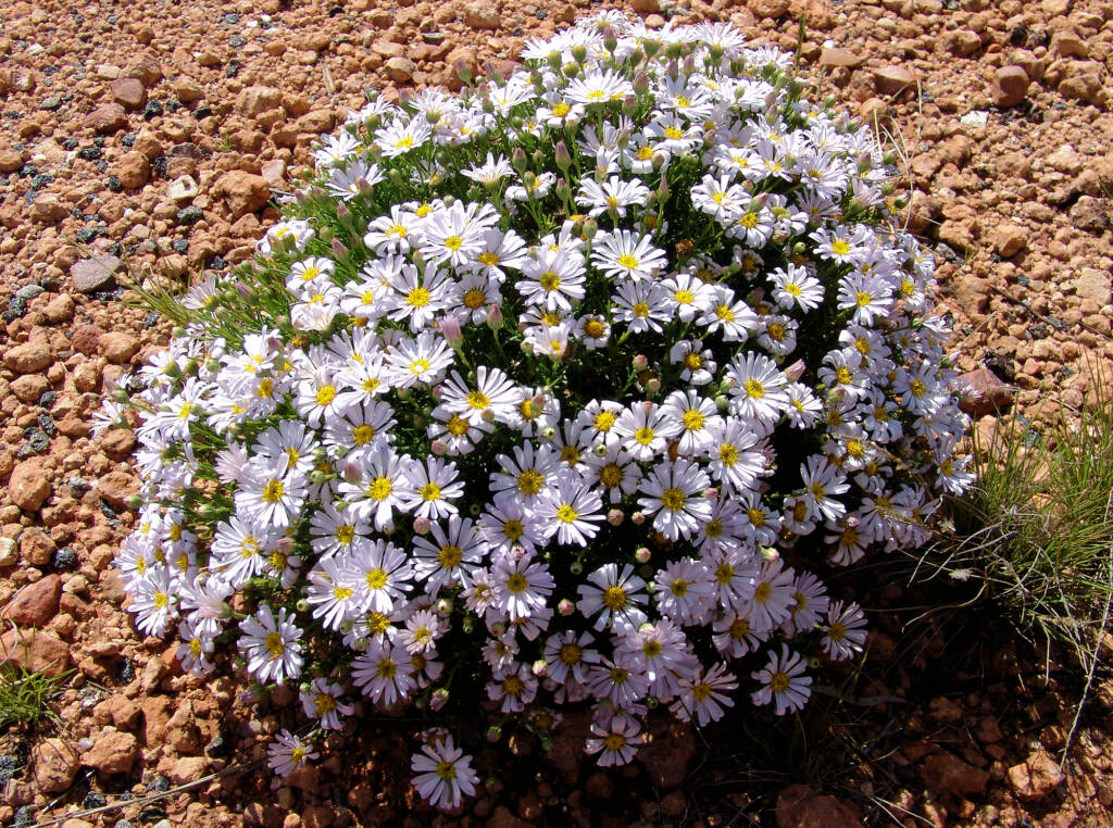 Minnie Daisy (Minuria leptophylla), south of Alice Springs, NT