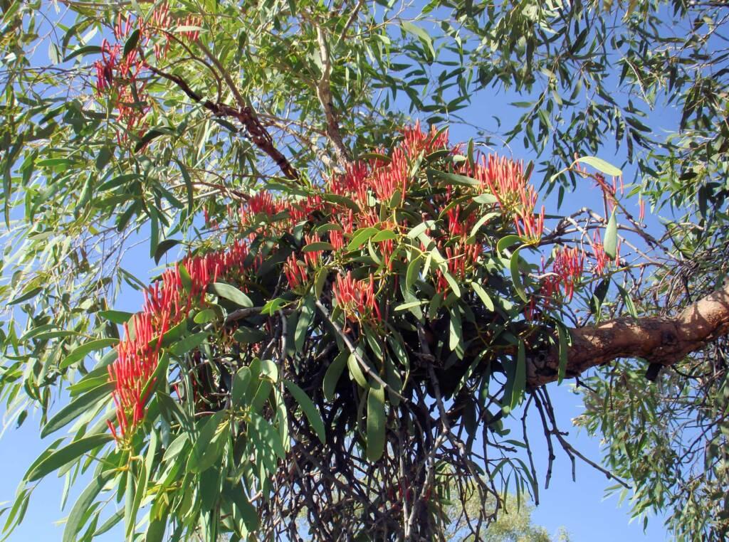 Amyema sanguinea mistletoe, Uluru-Kata Tjuta National Park