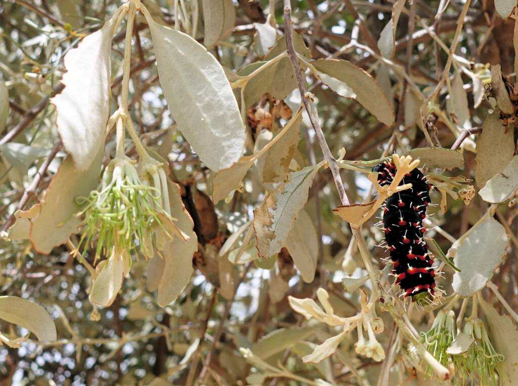 Caterpillar of the Mistletoe Emperor Moth (Austrocaligula engaea)