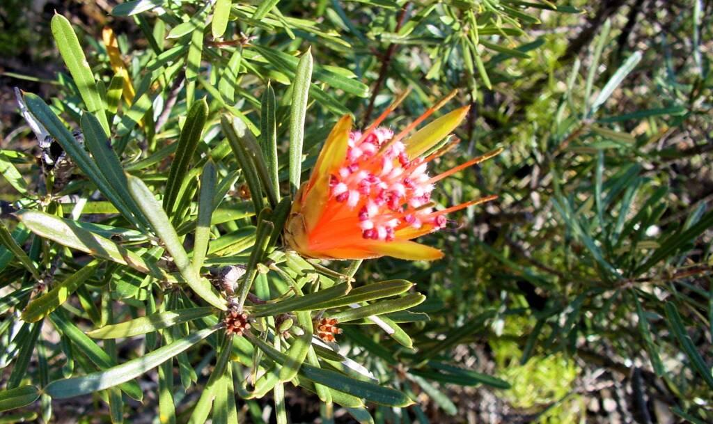Mountain Devil (Lambertia formosa), Blue Mountains, NSW