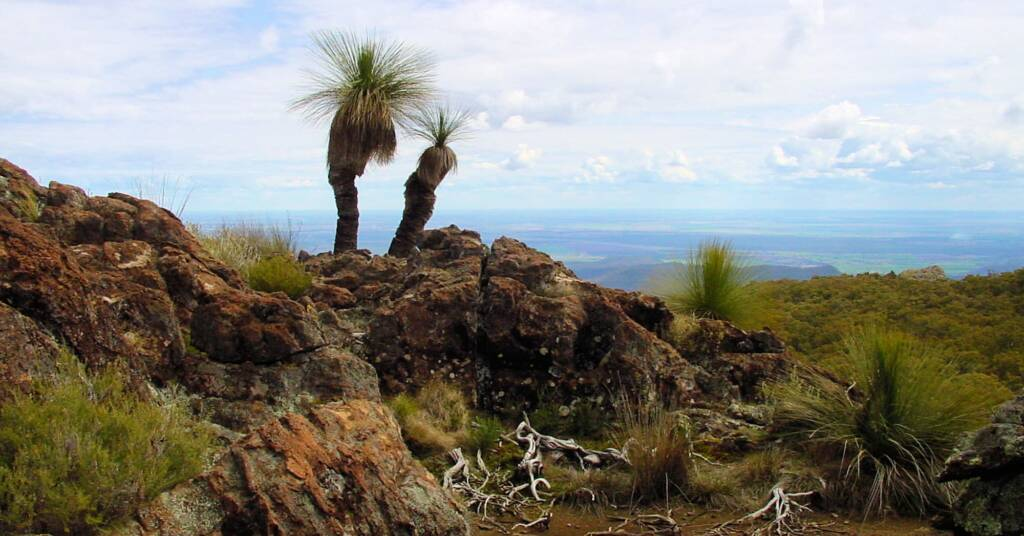 Grass trees on Mount Yulludunida