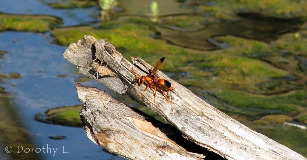 Mud Wasp (Eumenes latreilli), Alice Springs Desert Park
