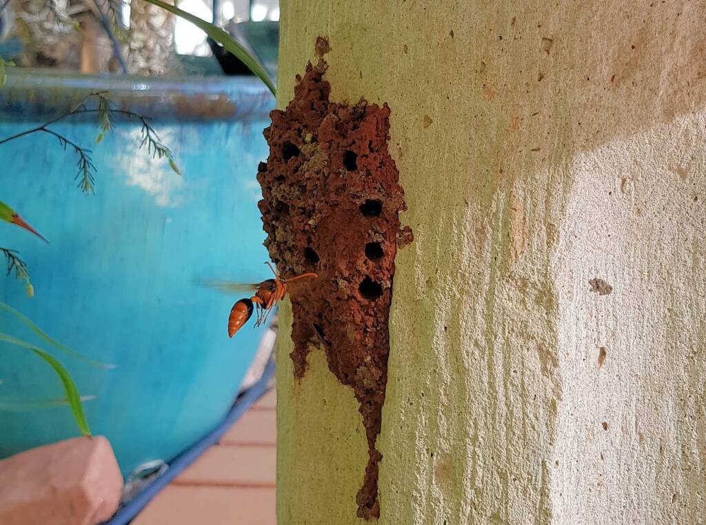 Potter Wasp (Eumenes latreilli) at mud nest, Alice Springs