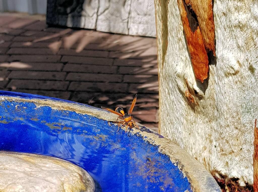 Mud Wasp (Eumenes latreilli), Alice Springs
