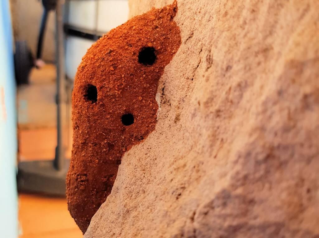 Mud nest of Potter Wasp (Eumenes latreilli), Alice Springs