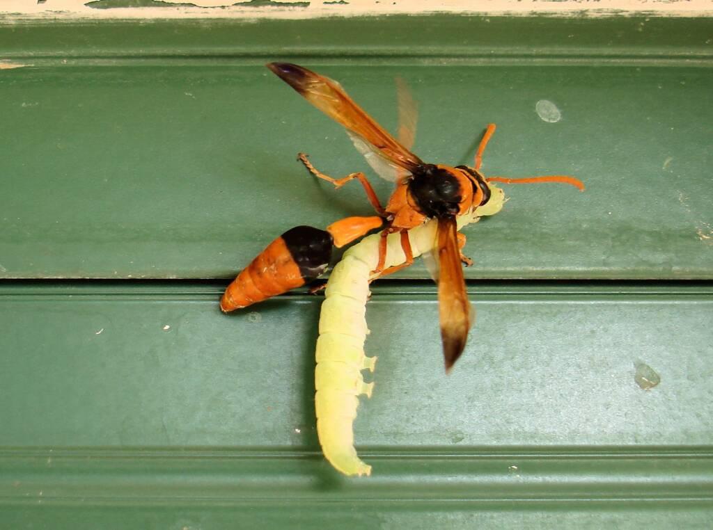 Potter Wasp (Eumenes latreilli) taking food back to mud nest, Alice Springs