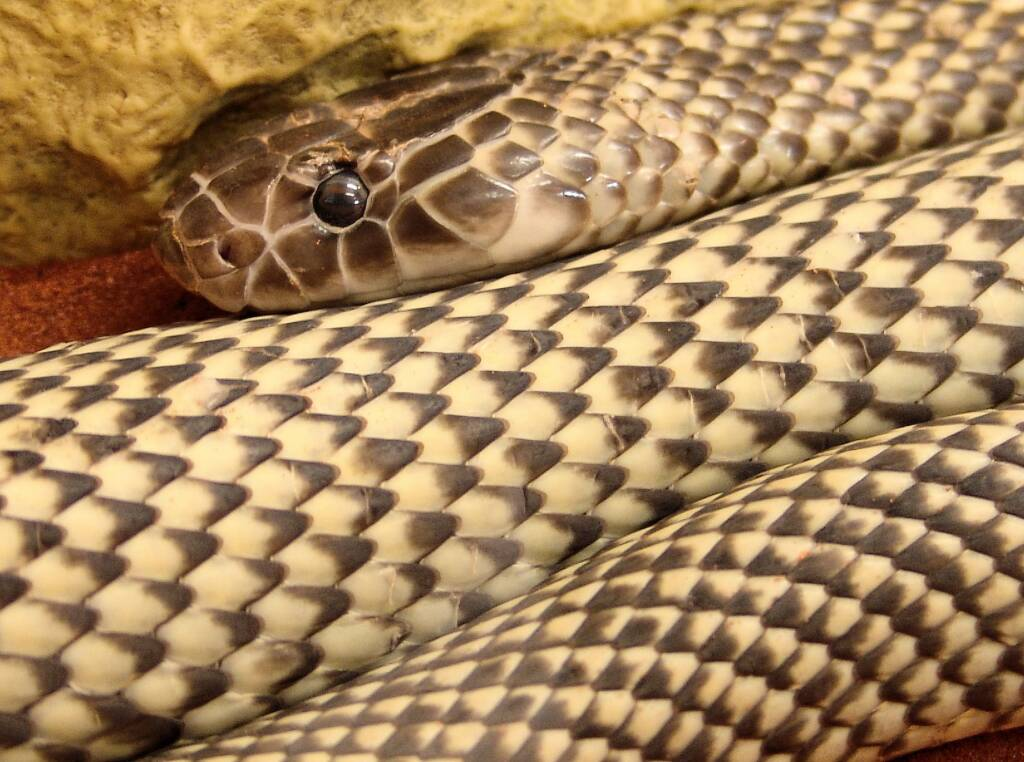 Mulga Snake - King Brown (Pseudechis australis), Alice Springs Reptile Centre