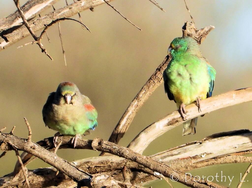 Mulga Parrots (Psephotellus varius)