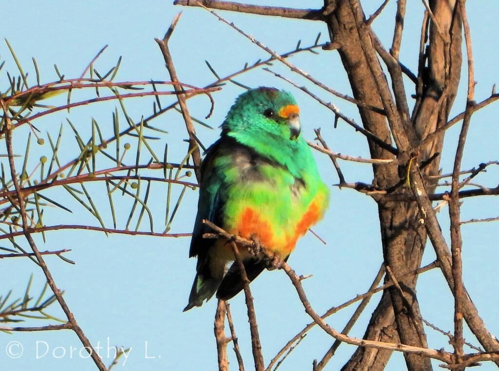 Mulga Parrot (Psephotellus varius)