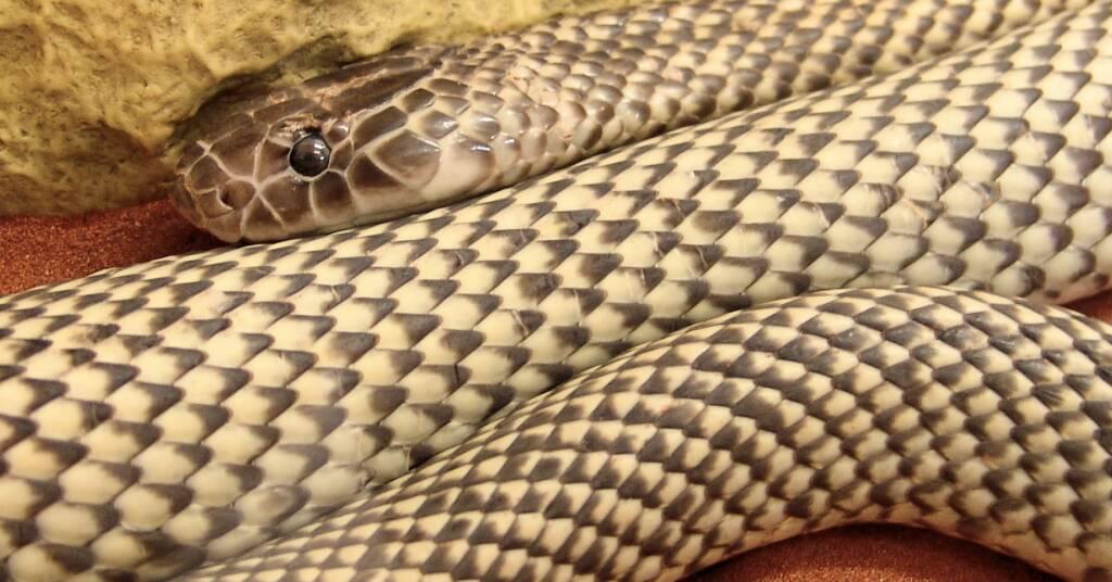Mulga Snake - King Brown (Pseudechis australis)