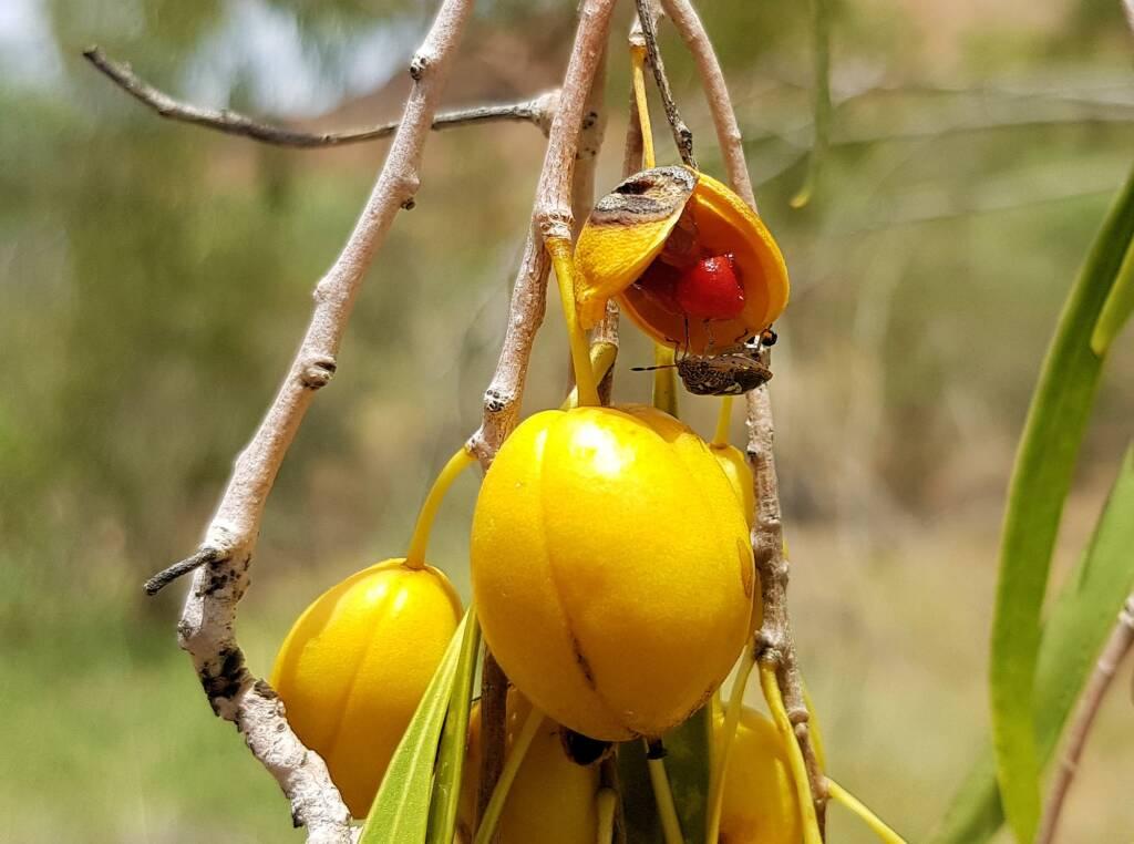 Native Apricot (Pittosporum angustifolium)