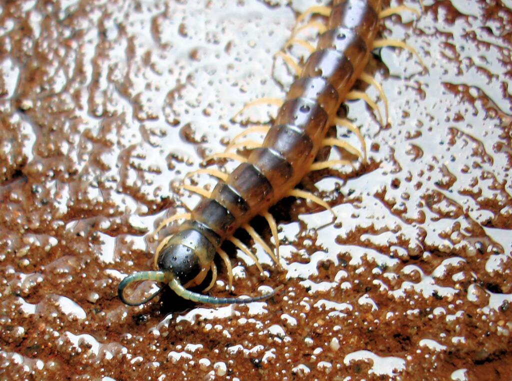 Native Centipede at Uluru-Kata Tjuta National Park.