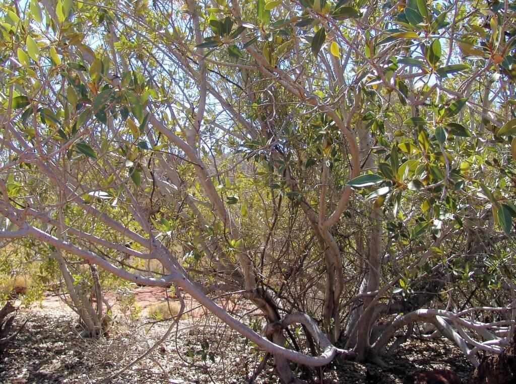 Native Fig (Ficus platypoda), Palm Valley, Finke Gorge National Park