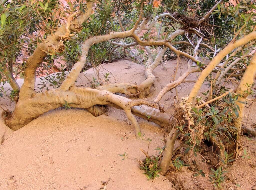 Native Fig (Ficus platypoda), Simpsons Gap