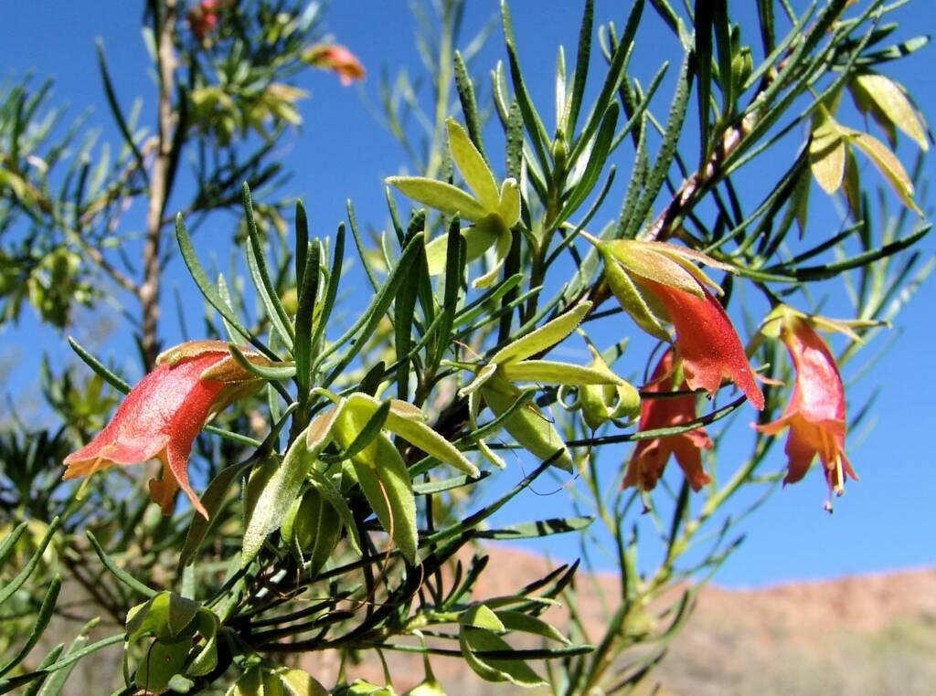 Native Fuchsia (Eremophila latrobei var. latrobei)