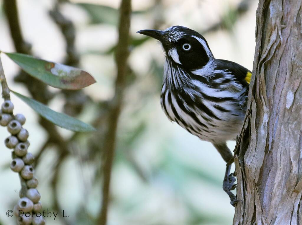 New Holland Honeyeater (Phylidonyris novaehollandiae)