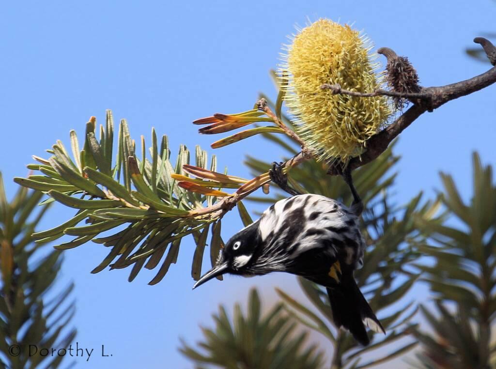 New Holland Honeyeater (Phylidonyris novaehollandiae)