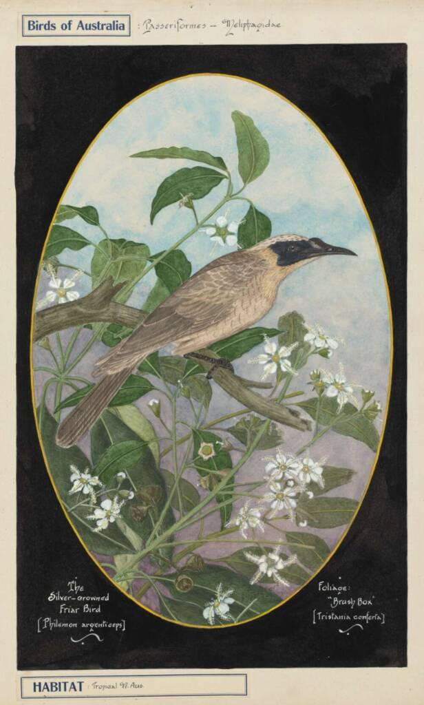 Gostelow, E. E. (). The silver-crowned friar-bird (Philemon argenticeps)