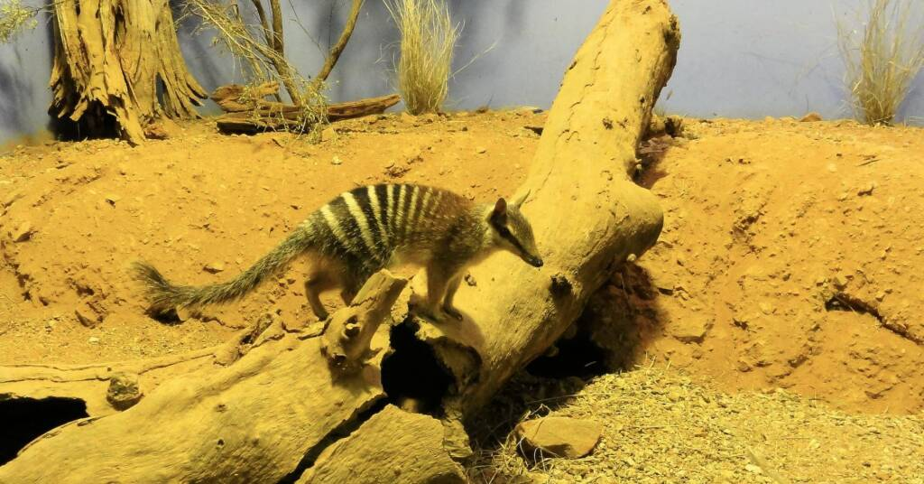 Numbat (Myrmecobius fasciatus), Alice Springs Desert Park