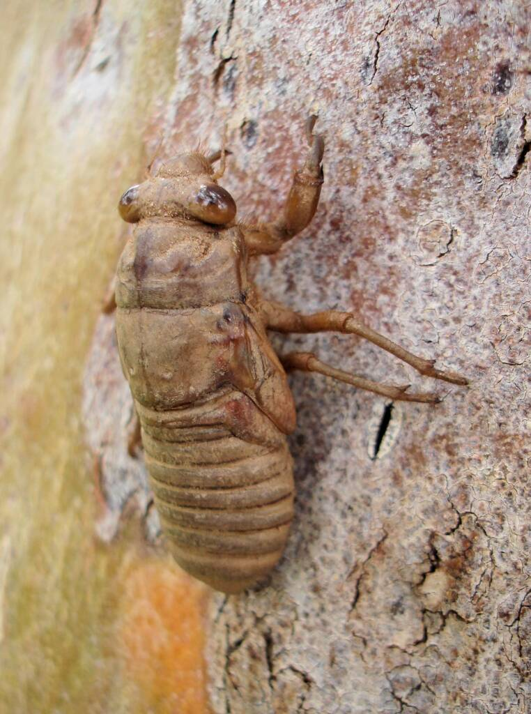 Nymph prior to the emergence of the mature cicada
