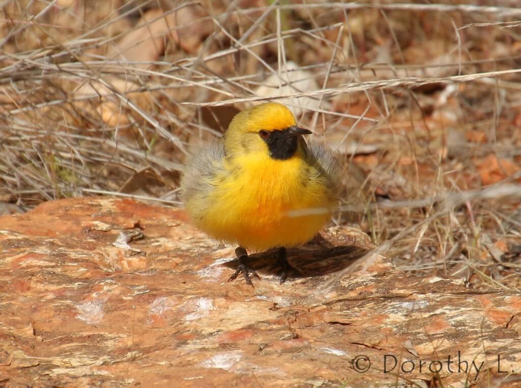Orange Chat (Epthianura aurifrons), Alice Springs Desert Park