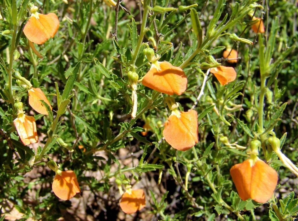 Orange Spade Flower (Hybanthus aurantiacus), Birthday Waterhole