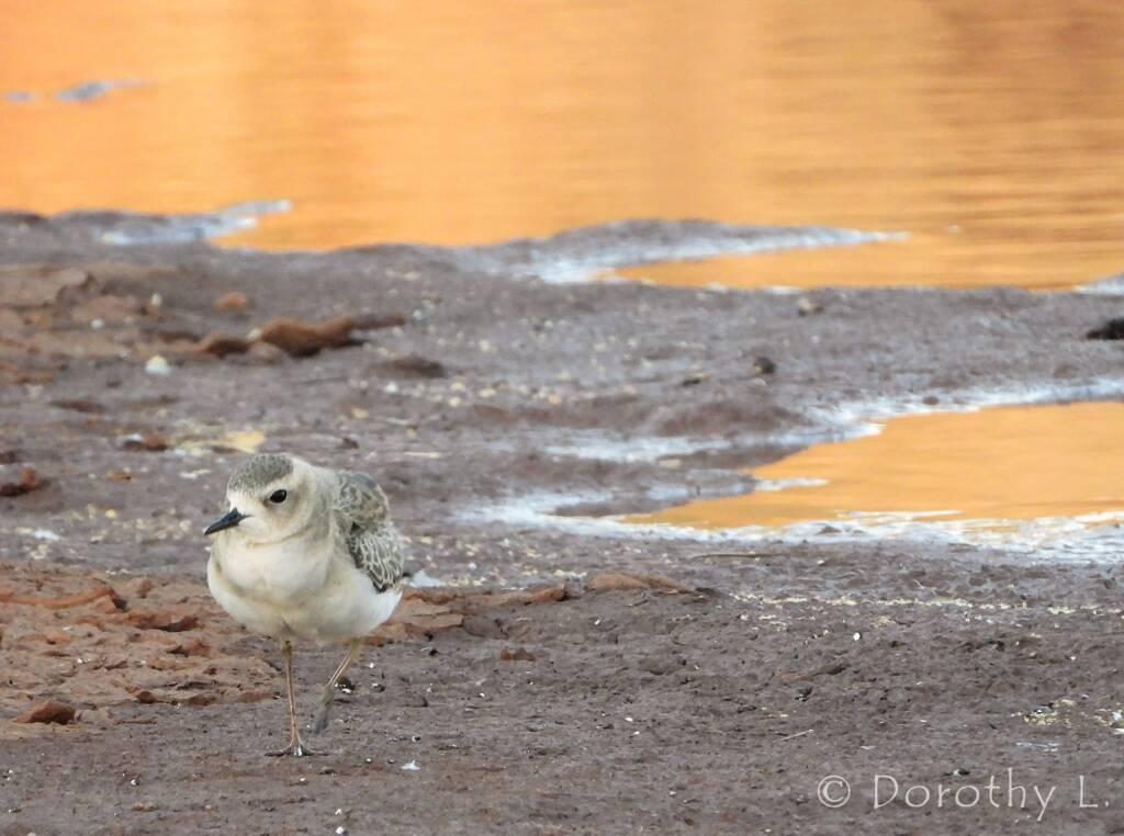 Oriental Plover (Charadrius veredus)
